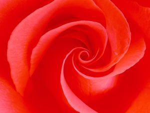 spiral rose